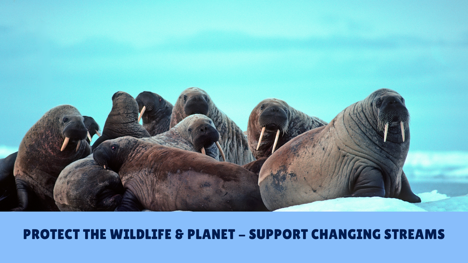 walruses Protect the wildlife and planet changing streams